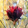 Giant Gymea Lily