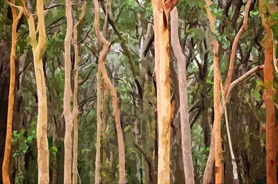 Abstract Australian Eucalyptus forest