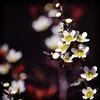 Tantoon Tea Tree