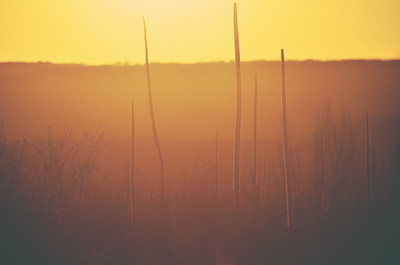 Golden Grass Tree Sunset