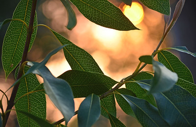Illuminated Leaves at Sunset