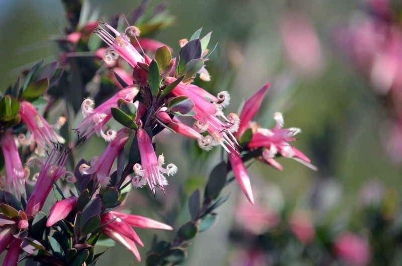 Australian native wildflower Pink Five-Corners  V