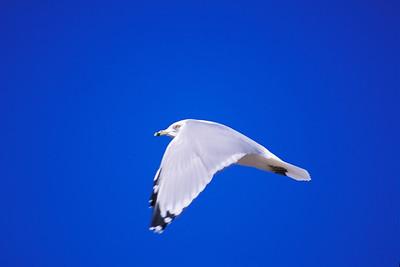 Ring Billed Gull In-Flight