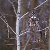 Portrait of Great Gray Owlii