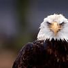 Bald Eagle Portrait In Raing