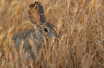 Desert Cottontail Hiding