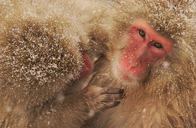 Snow Monkey Grooming