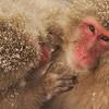 Snow Monkey Grooming