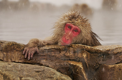 Snow Monkey Lounging Around
