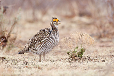 Lesser Prairie Chicken #3