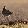 Lesser Prairie Chicken #1