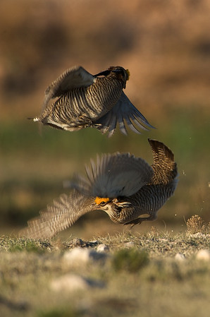 Lesser Prairie Chickens Fighting #1