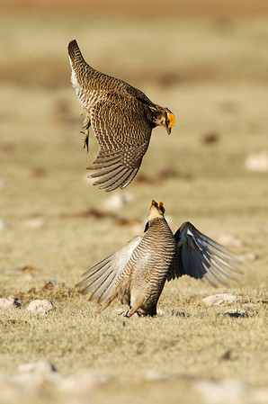 Lesser Prairie Chickens Fighting #2