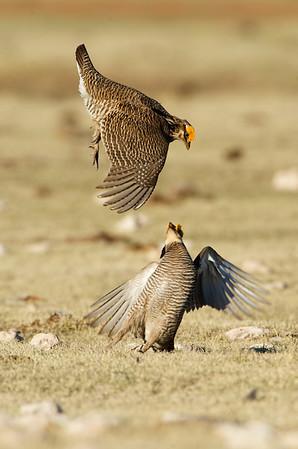 Lesser Prairie Chickens Fighting #2