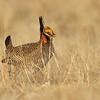 Lesser Prairie Chicken #6