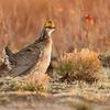 Lesser Prairie Chicken #4