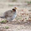 Lesser Prairie Chicken #5