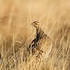 Lesser Prairie Chicken #7