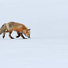 Red Fox on the Hunt - Yellowstone National Park, Wyoming