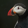 Puffin Portrait With Rain - Grimsey Island, Iceland<br /> *<br /> Nikon D500, 500mm f/4e AFS, TC-14eIII, f/11, 1/400sec, ISO 1600<br /> *<br /> Because they're everywhere on Grimsey Island, you can be really choosy on the types of portraits you can make.  This bird was across the street from our lodging on a little cliff overlooking the sea.  Like most of the days, it was raining.  While I was a bit soaked, these guys didn't seem to mind the rain in the least.  Most be something about being outside 24/7.<br /> *<br /> I shot this with a larger f/stop or smaller aperture to increase the depth of field to get the whole bird in focus.  Since the rain on the bird's edges were so important, having the whole bird in focus vs just the eye like I normally shot was important to the image's success. <br /> ____________________<br /> *<br /> #Nikon #Nikonphotography #naturephotography #iceland #grimseyisland #bird #birdphotography #puffin #rain