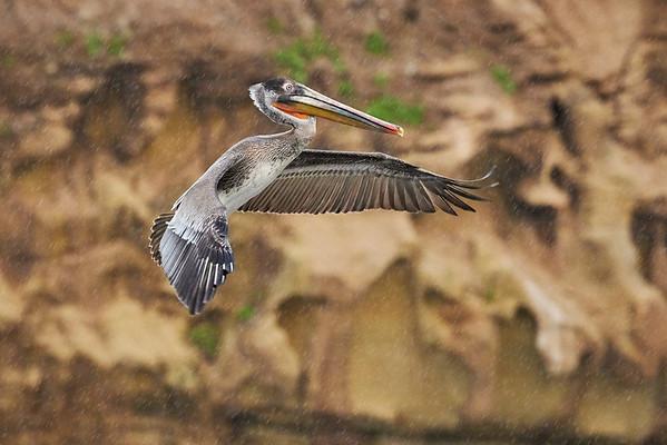 Brown Pelican Landing - La Jolla, California