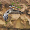 Brown Pelican Landing - La Jolla, California