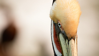 Brown Pelican Eye-Ball Shot - La Jolla, California
