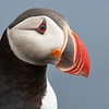 Puffin Portrait Headshot- Grimsey Island, Iceland<br /> *<br /> Nikon D500, 500mm f/4e AFS, f/11, 1/320sec, ISO 400<br /> *<br /> I found puffins acted differently on one side of the island than the other.  The southeastern side of Grimsey Island, the birds were extremely approachable.  If you took your time, you could easily get to the minimum focus distance of your lens.  On the western side of the island, that was a completely different story.  Birds would fly away if you got anywhere near and weren't practicing your best slow approach techniques.<br /> *<br /> A challenge when getting close is keeping most of the subject in focus.  Long lenses at their widest apertures have incredibly narrow depth of fields, well less than an inch.  The only way to overcome this is shooting with a smaller aperture which leads to a whole host of other problems.  But, when it all works together, the imagery is fantastic, definitely something you can't see with your naked eye.  In this case, the pupil of this bird is very prominent which I think draws the viewer in.  <br /> ____________________<br /> *<br /> #Nikon #Nikonphotography #naturephotography #iceland #grimseyisland #bird #birdphotography #puffin