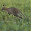 Wallaby Portrait #2