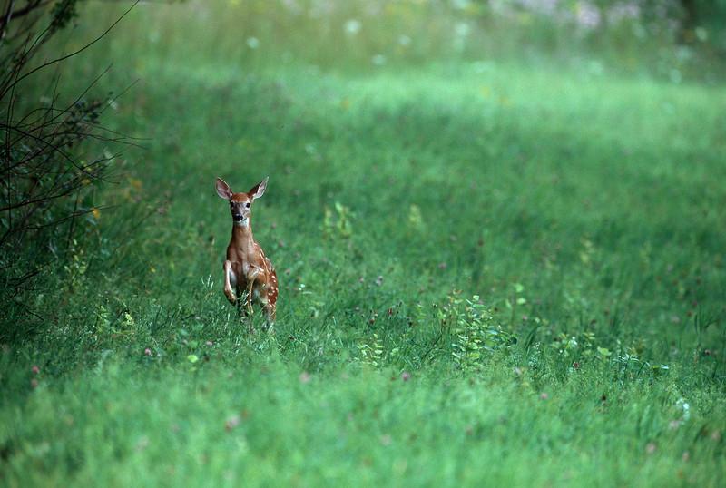 Fawn In Green Field