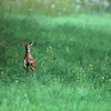 Fawn In Green Field