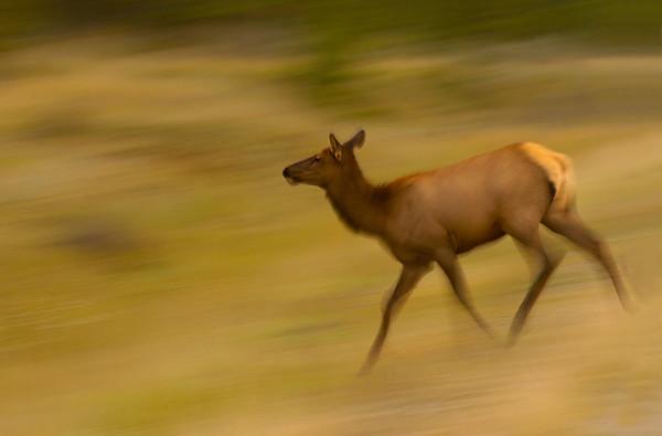 Elk Cow Running