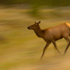 Elk Cow Running