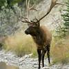 Wapiti Elk Portrait