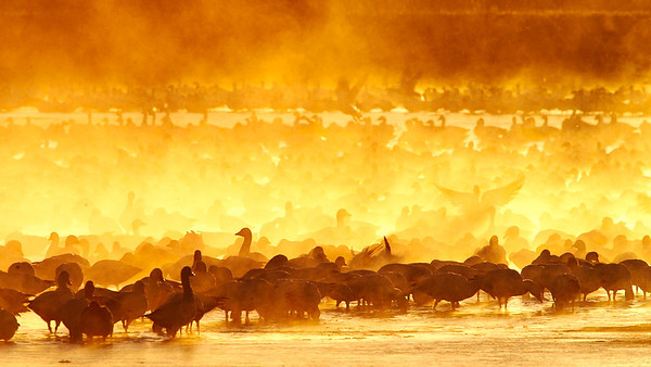 Boiling Geese<br /> 0122826