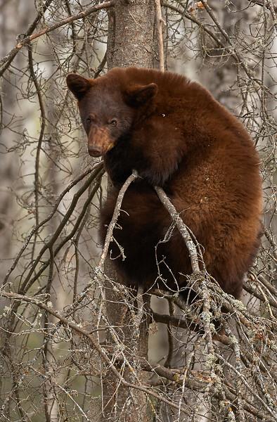 Black Bear On Tree