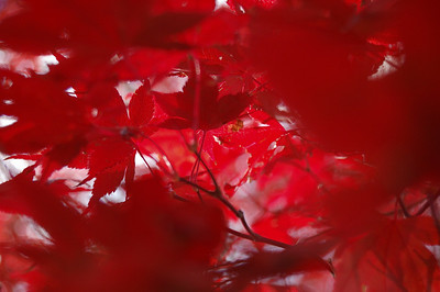Red Red Leaves.  Mt. Wollaston Cemetery, Quincy MA  A massive Japanese maple tree. It glows.