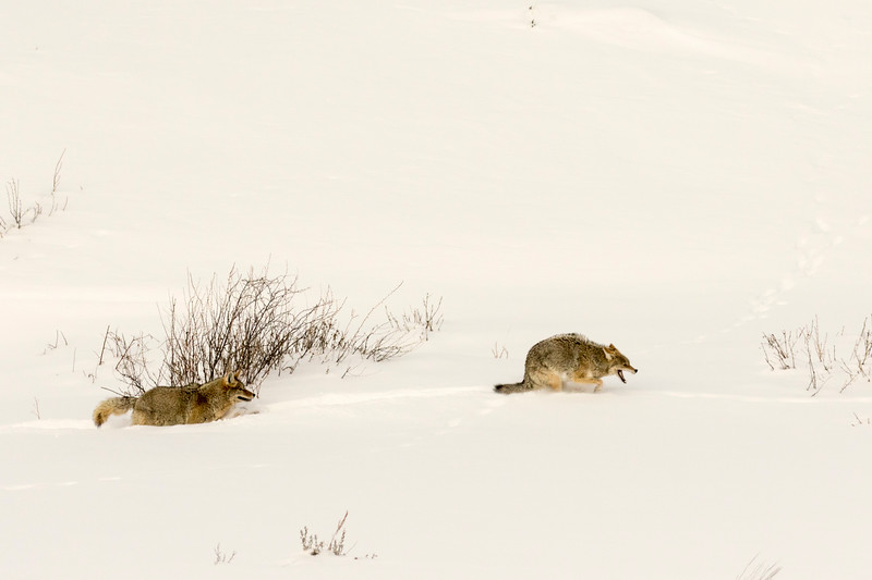 3. The Coyote Chase
