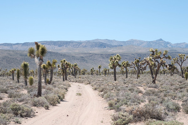 Through the Yucca Forest