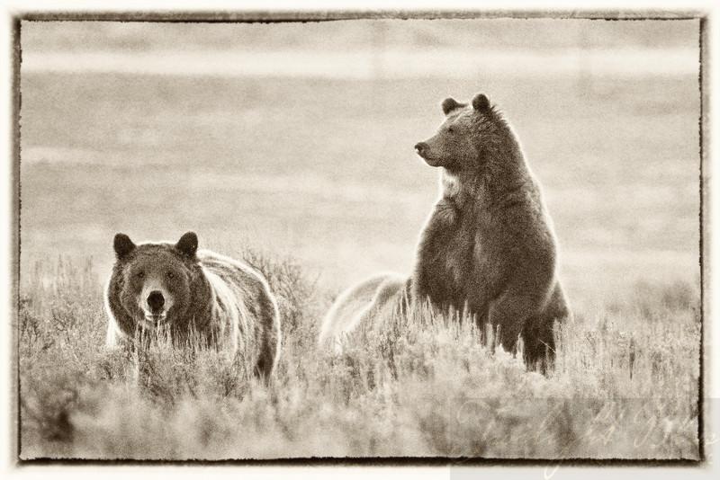 Grizzlies Looking for Breakfast