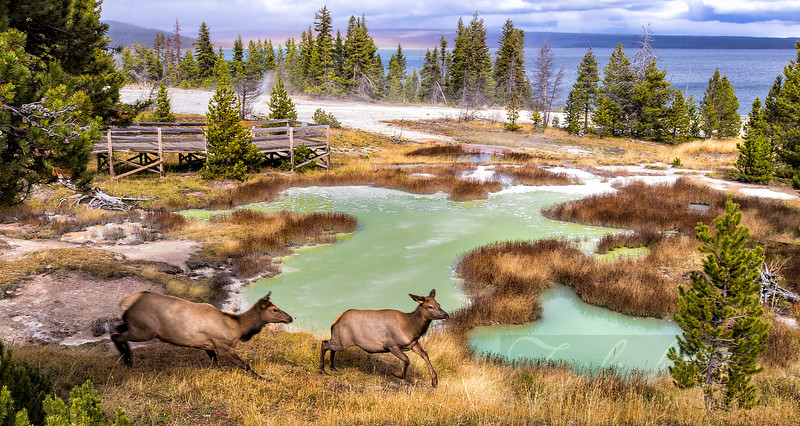 Elk Running Along the Geysers