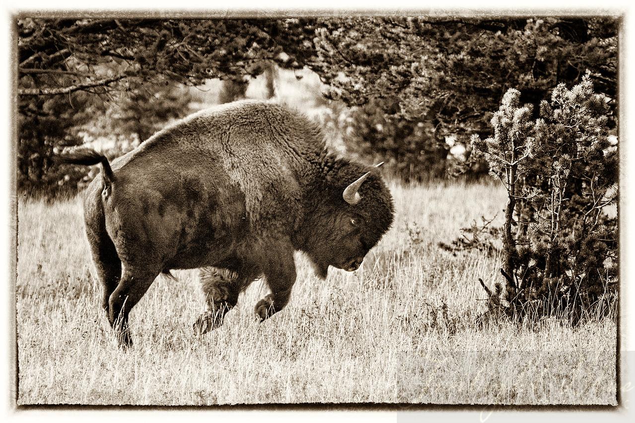 Bison Stampeding