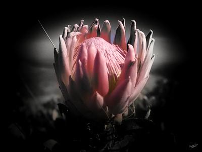 Hesitant Protea