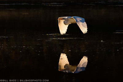 Great Egret (Ardea alba) in flight over a smooth lake surface in The Woodlands, Texas.