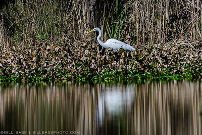 A Great Egret (Ardea alba) stands among the wetland grasses in The Woodlands, Texas. Egrets are stealthy aquatic hunters eating everything from frogs, to snakes, to fish. Commonly seen in coastal wetlands, it is not uncommon to seem them many miles inland.