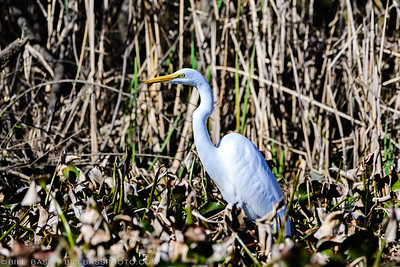 A Great Egret (Ardea alba) stands among the wetland grasses in The Woodlands, Texas. Egrets are stealthy aquatic hunters eating everything from frogs, to snakes, to fish.