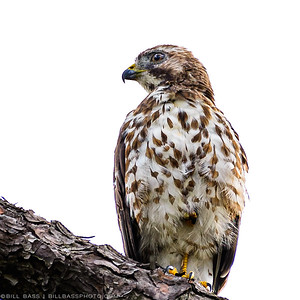Juvenile Broad Winged Hawk (Buteo platypterus). Hawks are an important part of a healthy ecosystem. They have a broad diet, and eat rotents, small mammals, amphibians, insects, and even nesting juvenile birds. This one was scoping out a Northern Cardinal nest.