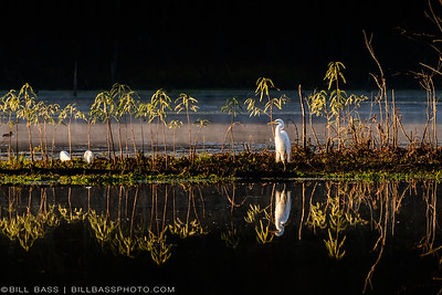 Great Egret (Ardea alba) and  Snowy Egret (Egretta thula) in the early morning fog in The Woodlands, Texas.