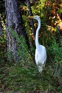 Great Egret (Ardea alba) stands among the tall vegitation along Lake Woodlands.