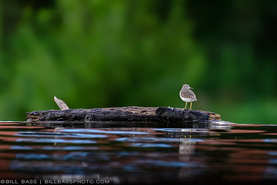 """A Spotted Sandpiper (Actitis macularius) stands at the edge of the Lake Woodlands spillway which flows into Panther Branch below. The genus name 'Actitis' is from Ancient Greek aktites, """"coast-dweller"""". This bird species is common to the U.S. Gulf Coast and can be found not only along coastal shores, but several miles inland. They are commonly seen scurrying about picking up small insects and other bits of food along the shallow waters edge."""